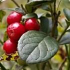 Cranberry en blaasontsteking