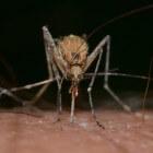 Pas op voor de malariamug!