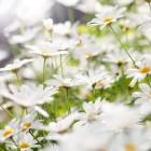 Hooikoorts of pollenallergie
