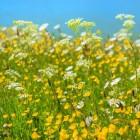 Hooikoorts – Pollenbom den Pollenradar
