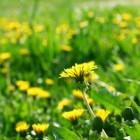 Homeopathische geneesmiddelen bij netelroos