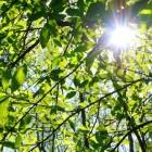 Boomhoroscoop – esdoorn en notenboom