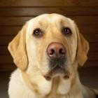 Dopjesactie voor blindengeleidehonden