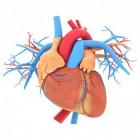 Hoe werkt het hart en hoe is het hart opgebouwd?