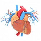 Hoe werkt het hart en hoe is het opgebouwd?
