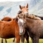 Paardenmelk: lijkt veel op menselijke melk