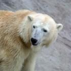 Ijsberen: gezond of ongezond?