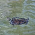 De schildpad in de mythologie en als krachtdier
