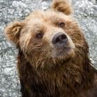 De beer als krachtdier