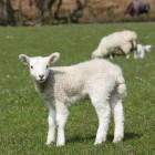 Kans op uitbreiding Q-koorts door drachtige schapen groot