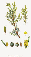 Jeneverbes (<I>Juniperus communis</I>)