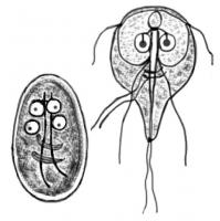 giardia infectie zwangerschap hpv genital transmitere