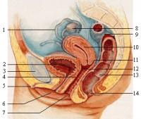 Pijn In De Onderbuik Baarmoeder Eileiders En Eierstokken Mens