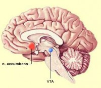 Ligging van de Nucleus accumbens / Bron: Onbekend, Wikimedia Commons (CC BY-SA-3.0)