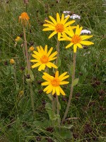 Arnica / Bron: Thommybe, Wikimedia Commons (CC BY-SA-3.0)