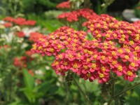 Achillea millefolium 'Paprika' cultivar / Bron: Timmeh 87 at English Wikipedia, Wikimedia Commons (Publiek domein)