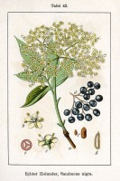 Sambucus nigra / Bron: Johann Georg Sturm (Painter: Jacob Sturm), Wikimedia Commons (Publiek domein)
