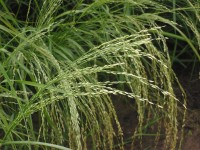 Teff / Bron: Rasbak, Wikimedia Commons (CC BY-SA-3.0)