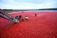 Productie cranberry's / Bron: Keith Weller, USDA-ARS, Wikimedia Commons (Publiek domein)