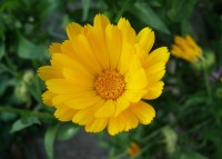 Gele calendula / Bron: Wildfeuer, Wikimedia Commons (CC BY-2.5)