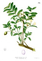 Botanische tekening guave / Bron: Francisco Manuel Blanco (O.S.A.), Wikimedia Commons (Publiek domein)