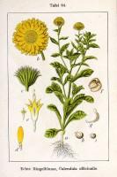 Botanische tekening calendula