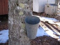 Zo wordt maple syrup geoogst. / Bron: Oven Fresh, Wikimedia Commons (Publiek domein)