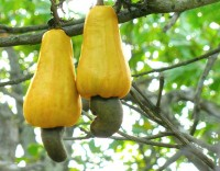 Cashewnoten / Bron: Abhishek Jacob, Wikimedia Commons (CC BY-SA-3.0)
