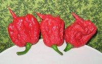Carolina Reaper / Bron: Dale Thurber, Wikimedia Commons (CC BY-SA-3.0)